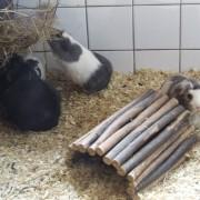 Cavia in het Hertenkamp Tiel