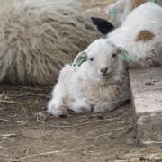 Het Ouessant schaap in het Hertenkamp Tiel