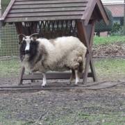 Het Jacobschaap in het Hertenkamp Tiel