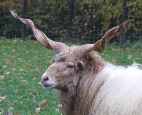 Racka schaap in het Hertenkamp Tiel
