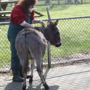 De Mini ezel in het Hertenkamp Tiel