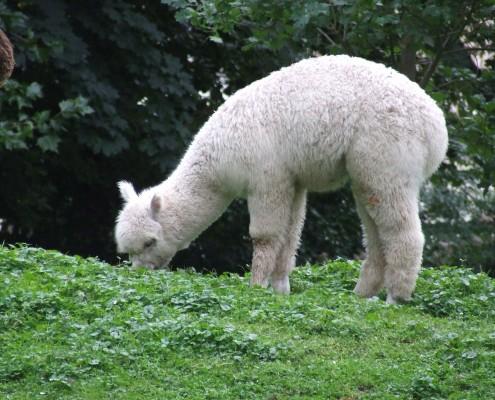 De Lama en Alpaca in het Hertenkamp Tiel